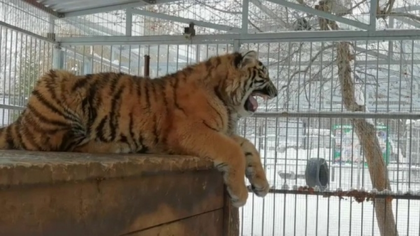 Have you seen a tiger chirping like birds?