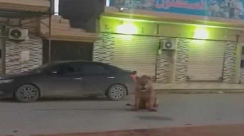 Video, a lion wandering in the Libyan city of Benghazi