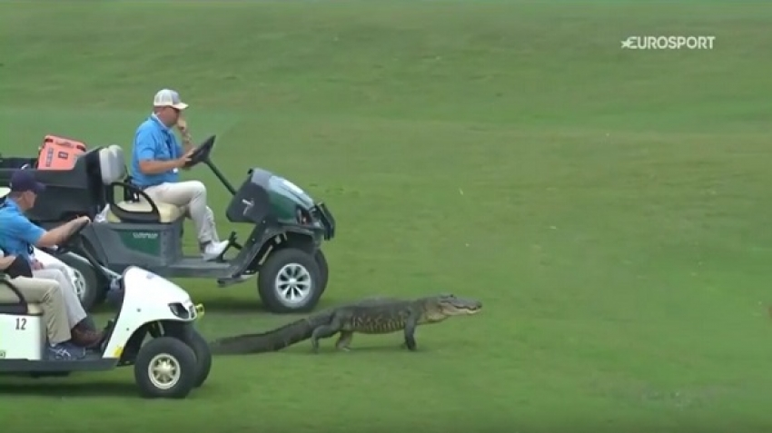 "Crocodile enters the ""Zurich Classic"" golf tournament, video"